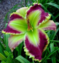 Daylily Seeds For Sale
